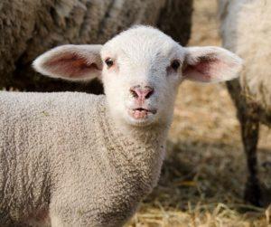 lambing-preparing-ewes