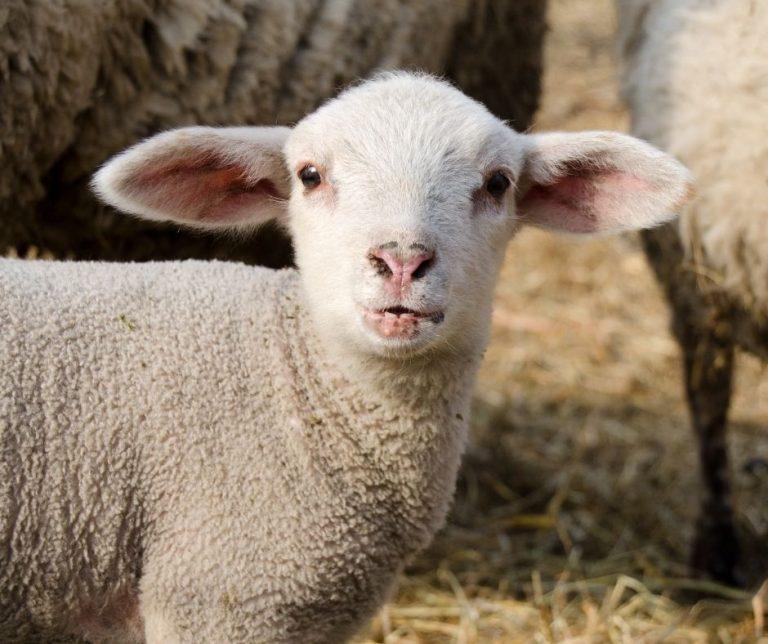 Be Prepared for Lambing Season