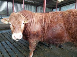 young-bull-ireland