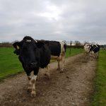 lameness-ireland-cows