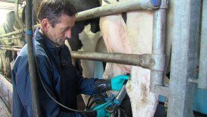 milking-cows-summer
