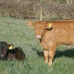 bull-castrate-service