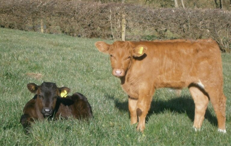 Read more about the article Plan Castration For Bulls Under 6 Months
